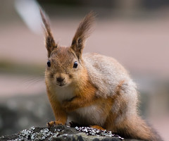 I'm new around here (Tomi Tapio) Tags: face cemetery fur nose helsinki eyes squirrel iso400 ears whiskers orava tame cureuil hietaniemi sciurusvulgaris sqrl eartufts eurasianredsquirrel kurre canonef90300mmf4556usm furcolours