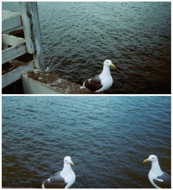 Santa Cruz Seabirds