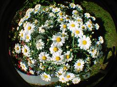 . (famar23 director's cut) Tags: flowers digital fisheye lomofake edit margherita