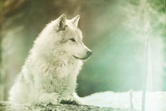My Spirit Wolf (Ggja Einars..) Tags: wild urban white colors animals night canon vintage wolf spirit 1001 50d gigja gigjaeinarsdottir