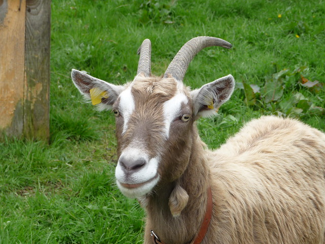 Say (goat)cheese