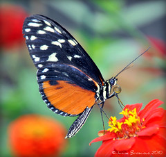 Golden Helicon (janinebroscious) Tags: golden helicon butterfly tiger longwing heliconid mexico peruvian amazon nikond90 janinebroscious flower brookside gardens wheaton maryland wingsoffancy mygearandmepremium md