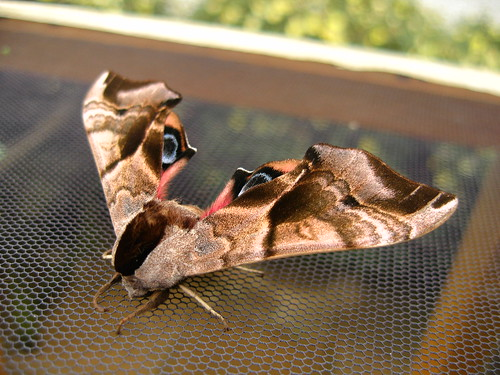 Eyed Hawk Moths (Home)