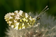 Orange Tip - Anthocharis cardamines (Walwyn) Tags: butterfly insect lepidoptera livejournal warwickshire anthocharis cardamines draycotemeadows profmoriartydotcom:book=158 profmoriartydotcom:book=154 taxonomy:binomial=anthochariscardamines profmoriartydotcom:book=157