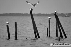 Get off my piling! (Rick Anderson Photography) Tags: water birds nc gulls outerbanks obx currituck curritucksound corollanc curritucknc
