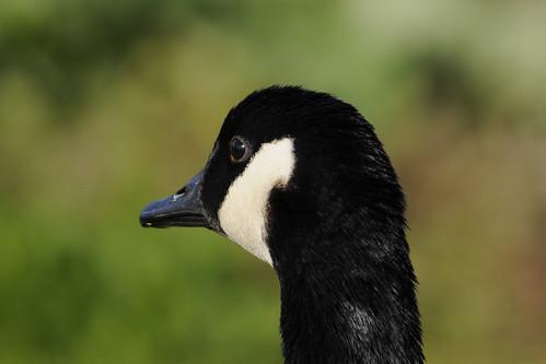 canada goose birdathon