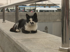 cat on a bridge (sftrajan) Tags: cat turkey trkiye kitty istanbul trkei gato katze kedi estambul kittycat  eminn turkishcats