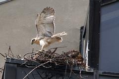 alewife hawks  075