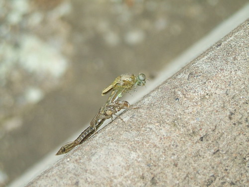 Damsel fly emerging