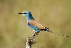 Abyssinian Roller (Makgobokgobo) Tags: africa bird roller uganda coracias narus kidepo abyssinianroller coraciasabyssinica coraciasabyssinicus kidepovalleynationalpark narusvalley kvnp