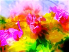 bougainvillea in light (elshowk) Tags: flowers bougainvillea