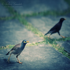 the beak brothers () Tags: nature birds uccelli brothers fratello fratelli walking camminando mauritius africa green verde grass erba yellow beak becco giallo nikon135mmf2 nikond90  andrea benedetti andy andrew