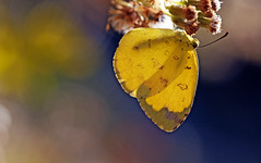 Ancient is the forest (xeno(x)) Tags: flowers blue macro yellow canon butterfly wings asia wildflowers 2010 xeno overtheexcellence 5d2