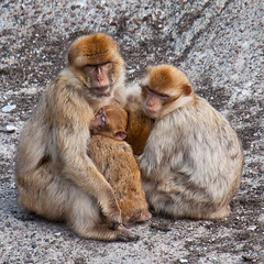 Keep your loved ones close! (Ferdi's - World) Tags: bridge animal germany geotagged zoo monkey ferdi fietstocht aap tier duitsland magot dierentuin berberaap macacasylvanus geo:lon=7916679 ferdisworld landalgreendwergtemniedersachsen meivakanatie2010 tierparkthule dierenparkthule tierundfreizeitparkthule geo:lat=52958427