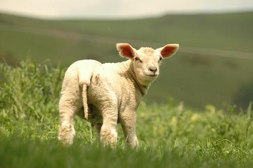 Lamb - 8