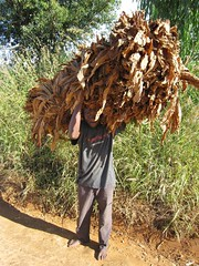 7b. Carrying tobacco to market