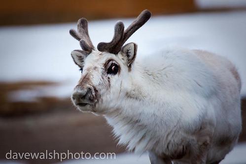 Svalbard Reindeer, Rangifer tarandus platyrhynchus