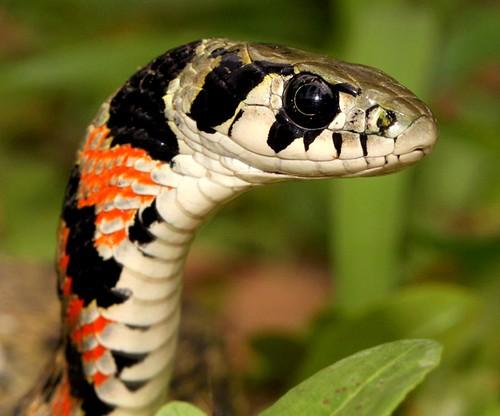Tiger Keelback