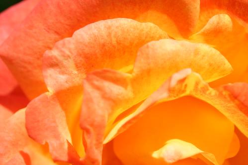 Orange Rose Petal