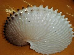 Concha de Polvo (Fundo do Mar) Tags: praia mar grande artesanato litoral conchas presentes feirinha caramujos