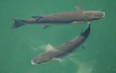(Zak355) Tags: fish rothesay isleofbute thicklippedgreymullet