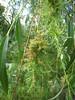 IMG_8175 (MargaretDonald) Tags: italy insect europe attack willow overseas bolzano gall sudtirol babylonica acari alteadige saliz