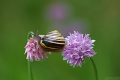 In Search of a Better Place (Vie Lipowski) Tags: flower nature wildlife snail chives alliumschoenoprasum detritivore