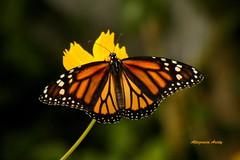 Feliz Cumpleaños/Happy Birthday (Altagracia Aristy Sánchez) Tags: mariposa butterfly farfalla borboleta papillon monarch againstthelight contraluz quisqueya repúblicadominicana dominicanrepublic caribe caribbean antillas antiles ´trópico tropic américa fujifilmfinepixs8100fd fujifinepixs8100fd fujis8100fd altagraciaaristy top20butterflies monarca danausplexippus laromana caraïbi monarchbutterfly mariposamonarca