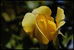 Rosatea10-013 (Roby49) Tags: nikon d100 105micro