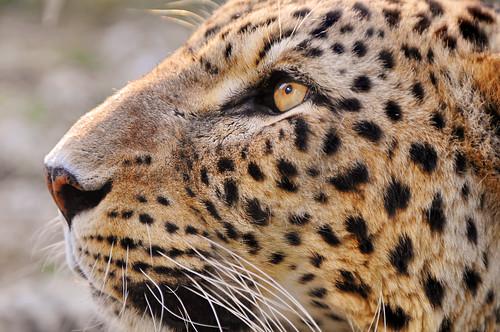Profil de la panthère mâle