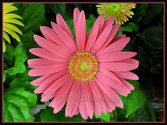 Gerbera jamesonii - pink rays with yellow central disk