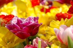 Bom dia! Good morning! (selenis) Tags: flower turkey nikon turkiye flor istanbul tulip istambul turquia tulipa 2010 18200vr d80