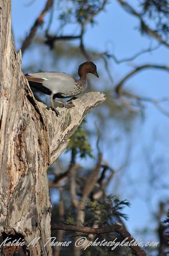 Duck in a tree