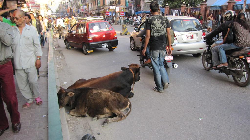 Urban cows