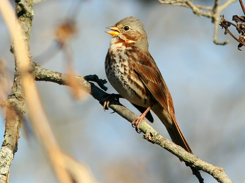Fox Sparrow Singing 20101104