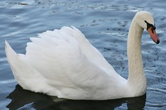 White Swan (bigbrowneyez) Tags: park blue white lake black macro reflection bird nature wet water beauty closeup beads duck swan wings drink beak feathers longneck ripples waterdrops excitement regal beadsofwater whiteswan tinybeadsofwater