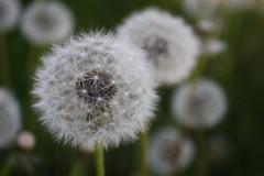 Old aged Dandelions (Elizabeth Melachroinos) Tags: old plant blur nature plante photography photographie dandelion seeds aged dandelions graines racine pissenlit