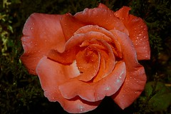 ROSES IN THE RAIN (Jack o' Lantern) Tags: red flower macro art nature fleur rose closeup canon garden photography petals flora perfect blossom bokeh rosa bloom fiore my excellence kwiat the floribunda themoulinrouge doublefantasy ra arosebyanyothername photos first great rose blossoms flowerotica natures shots fantasy tea petals fantasticflower masterphotos photographers anawesomeshot friends photographer master diamondclassphotographer finest winners theunforgettablepictures delightfulroses bestroseshot awesome thegardenofzen quality floral excelentsflowers spiritofphotography hybrid perfect jackolantern mindigtopponalwaysontop unforgettableflowerscontest14 exquisitelygorgeousflowers bej