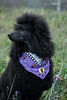 Billy And HIs Boo Bandanna (rdcal423) Tags: black poodles dogs field portraits silver play gray grace apricot billy taffy chantel alfie standardpoodle geylockmtn
