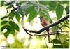Beauty in de Shade!! (Naseer Ommer) Tags: kerala aves malabartrogon harpactesfasciatus birdsofkerala naseerommer discoverplanetinternational wseternghats femalemalabartrogon