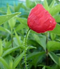 2017-06-30 one poppy (9) (april-mo) Tags: poppies poppy coquelicot coquelicots wildflower redandgreen fleursauvage red rouge