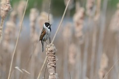 HNS_2482 Rietgors : Bruant des roseaux : Emberiza schoeniclus : Rohrammer : Reed Bunting