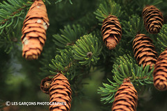 le sapin a des boules (eric4tin) Tags: sapin cocotte aiguille fir pomme de pin pinecone closed up