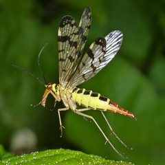 Rolf_Nagel-Fl-2993-Panorpa_communis (Insektenflug) Tags: panorpacommunis panorpa communis panorpidae skorpionsfliege scorpionfly fliegend flying flight wildlife insects im airborne wilhelmshaven deutschland entomologie fauna fliegen flug germany insekten insekt insektenflug insect imflug inflight minoltaerokkor75mm erokkor minolta rokkor 75mm envole en vole