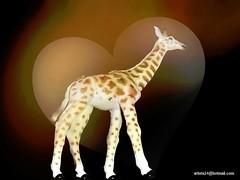 Girafe - Giraffe (7) (artiste24artiste241) Tags: girafe safari jungle sauvage zoo savane parc réserve mammifère