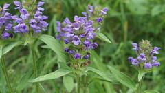 Selfheal (Nick:Wood) Tags: wildflower flower selfheal nature wildlife knowle solihull prunellavulgaris towpath canal hedgerow