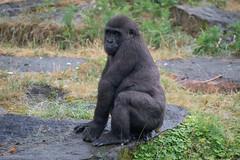 DSC00567 (sylviagreve) Tags: 2017 apenheul gorilla apeldoorn gelderland netherlands nl