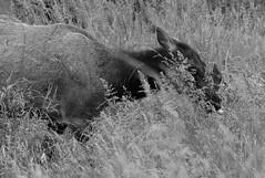 Prairie Creek Redwoods State Park (elisecavicchi) Tags: elk tongue grasses prairie creek redwoods park state detail fur intimate monochrome black white explore pacific northwest pnw graze summer june lush ungulate soft stems focus meadow field humboldt county california northern ca orick