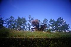 DSC07863 (rc90459) Tags: 最後的夫妻樹 夫妻樹 塔塔加 玉山