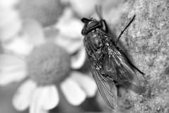 chillen in the sun (nirak68) Tags: lübeck schleswigholsteinkreisfreiehansestadtlübeck deutschland de 185365 flora fauna macro fly fliege mutterkraut fullhouse crazytuesdaytheme 7dwf 2017ckarinslinsede
